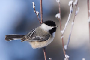 Small bird standing on a snowy branch