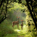 Two deer is a forest