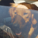 Dog looking out of window from inside car