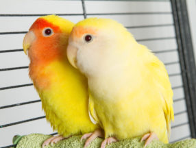 Two yellow birds sitting beside each other in a cage