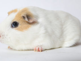 close up of a white and brown hamster