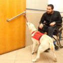 Service dog pulling a door open for a man in a wheelchair.