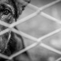 black and white photo of a sad dog looking through a fence.