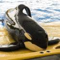 Ocra whale laying on pool platform