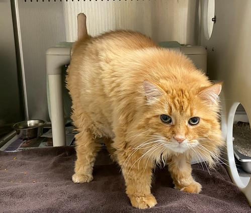 Orange cat with tail amputation.